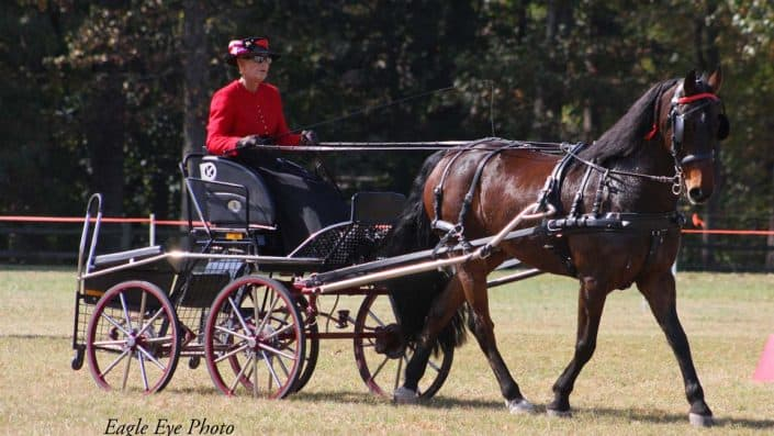 Pine Tree Combined Driving Event in North Carolina with Pinegrove's Sailor Boy. This shows the driving reins with stops on them.