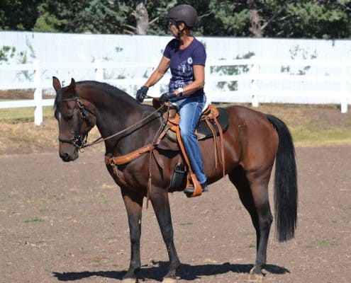 Rejoice Of Monarch an American Morgan mare being ridden by Eileen at her Combined Driving Center in Prescott Arizona