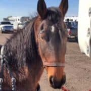 Pinegrove's Sailor Boy at the Arena Driving Trial in Apache Junction Arizona